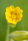 Cowslip Royalty Free Stock Images