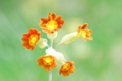 Cowslip. Macro image of cowslip flower in meadow Royalty Free Stock Photography