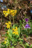 Cowslip in bloom Royalty Free Stock Photo