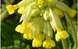 Cowslip Blossom Primula Veris Closeup. High-resolution image of common cowslip blossoms (Primula veris) on a sunny day in springtime, shallow depth-of-field Royalty Free Stock Photos