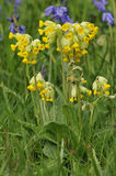 Cowslip with Bluebells Stock Photography