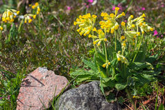 Cowslip in a cultivated area Stock Photos