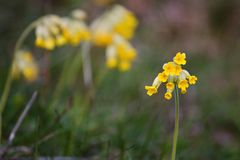 Cowslip Stock Photography