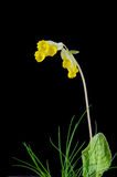 Cowslip flower on black Stock Images