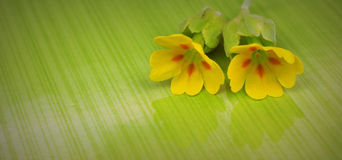 Cowslip flower Stock Photography