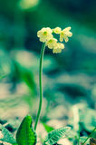 Cowslip flower detail Royalty Free Stock Images