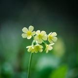 Cowslip flower detail Stock Images