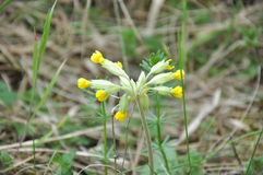 Cowslip flower (in europe) Stock Images