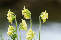 Cowslip flower Royalty Free Stock Image