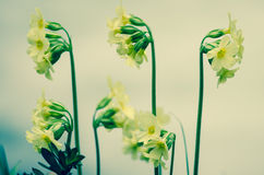 Cowslip flower Royalty Free Stock Photo