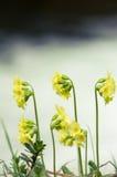 Cowslip flower Stock Photo