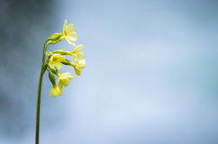 Cowslip flower Stock Images