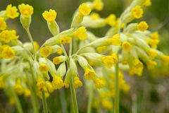 Free Cowslip Flowers Royalty Free Stock Image - 71270236