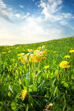 Cowslip flowers on the field Royalty Free Stock Images