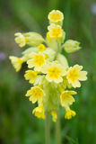 Cowslip flowers Royalty Free Stock Photos
