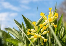 Close-up of cowslip flowers in natural green environment Royalty Free Stock Photography
