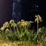 Cowslip Flowers in Spring Royalty Free Stock Photography