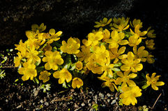 Cowslip or marsh marigold Royalty Free Stock Photography