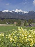 Cowslip in the mountains of Bavaria Stock Image