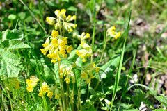 Cowslip primrose primula veris flowers Stock Photography