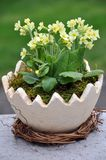 Cowslip (Primula veris) Stock Photos