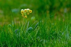 Cowslip (Primula veris) Obrazy Stock