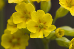 Cowslip (primula veris). The cowslip produced his blossoms in early spring between March and May stock photos