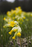 Cowslip (primula veris). The cowslip produced his blossoms in early spring between March and May royalty free stock photography