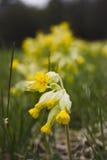Cowslip (Primula veris) Lizenzfreie Stockfotografie