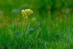 Cowslip (Primula veris). The Common cowslip (Primula veris) a evergreen perennial plant flowering among the first in spring in Uppland stock images