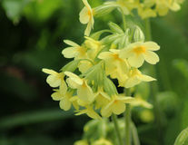 Cowslip Primula veris flower Stock Photography
