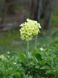 Cowslip (Primula veris) flowers Royalty Free Stock Photo