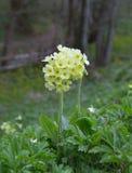 Cowslip (Primula veris) Stock Images