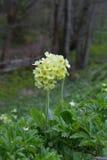 Cowslip (Primula veris) Royalty Free Stock Image