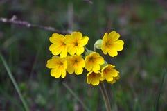 Cowslip - Primula veris Stock Image