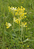 Cowslip Royalty Free Stock Photography