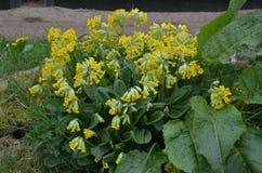 Cowslip (Primula vertis) Obraz Stock