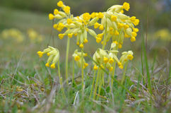 Cowslip (Primula vertis) Stock Image