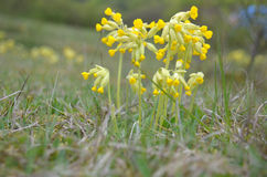 Cowslip (Primula vertis) Royalty Free Stock Images