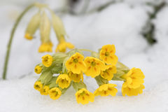 Cowslip in snow during spring Royalty Free Stock Photo