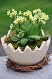 Cowslip (veris del Primula) Fotografie Stock