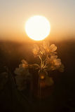 Cowslip wildflowers with golden evening sun Royalty Free Stock Photos