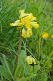 Cowslip Stock Photos