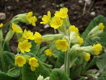 Cowslip Royalty Free Stock Photos