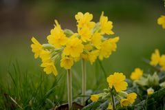 cowslips royalty-vrije stock fotografie