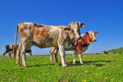 Cowson a summer pasture Royalty Free Stock Photography
