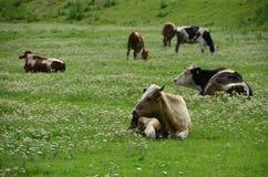 Cowss在一个绿色牧场地 免版税图库摄影