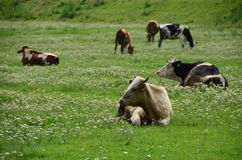Cows in a green pasture Royalty Free Stock Photography