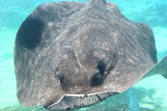 Cowtail Stingray at the bottom underwater Royalty Free Stock Image
