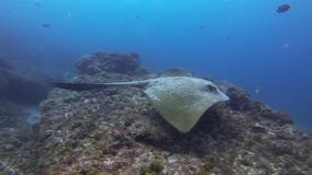Cowtail Stingray Fantail Sting Ray Or Bull Ray Stingray Swimming Over Coral Reef